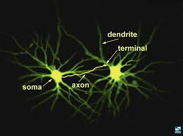 5 Neuronal Structure National Institute On Drug Abuse Nida