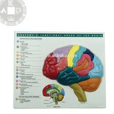 Brain Chart Anatomy Human Medical Brain Model Chart For Learning Brain Puzzle Buy Medical Brain Model Wall Chart Anatomy Brain Puzzle Model Learning Brain Model