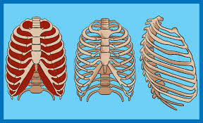 Rib cage is the bony structure in the chest formed by the ribs and sternum (breastbone) that in humans, the rib cage, also known as the thoracic cage, is a bony and cartilaginous structure which. How To Draw A Rib Cage Step By Step Drawing Guide By Dawn Dragoart Com