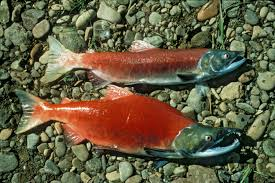 Pacific salmons and trouts