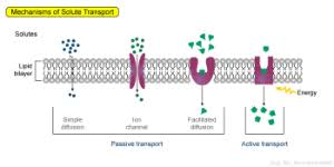 3 Types Of Passive Transport Passive And Active Transport Biol230w Fall09 Confluence