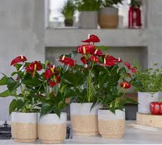 The red anthurium is the perfect <b>Christmas flower</b> - Anthura