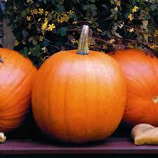 Jack O Lantern Jack O Lantern Pumpkin Classic Round Shape And Flavor