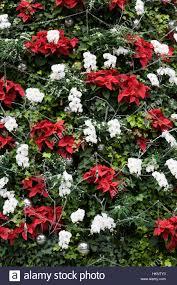 Weihnachtsbaum Geschmückt Mit Weihnachtssternen Stockfoto