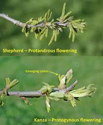 Uga Pecan Pollination Chart Comparison Of Different Pecan Trees Perfect Plants Nursery