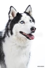 Fotografie Obraz Alaskan Malamute Or Husky Dog Isolated On White