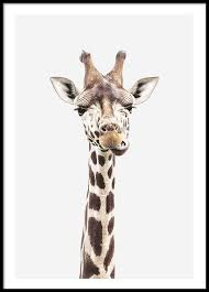 pictures of a giraffe. Contemporary Pictures Baby Giraffe Poster In The Group Prints  Animals At Desenio AB 8358 On Pictures Of A Giraffe E