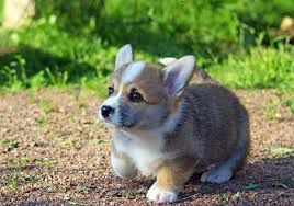 cutest corgi puppy. Beautiful Puppy Cute Corgi Puppy Absolutely PreciousSee More Pictures  Cartoons Videos And Pet Supplies By Liking Us On Facebook At Facebookcom  To Cutest Puppy E