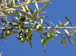 The Character Of God As Agriculturalist Pt 5 Why Would Anyone Wild Olive Tree Fruit