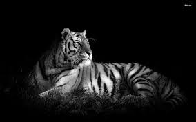 white tiger wallpaper hd 1080p. Fine White White Tiger Wallpapers Inside Wallpaper Hd 1080p E