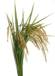 rice plant clipart. Perfect Clipart Rice Stock Photo In Plant Clipart F