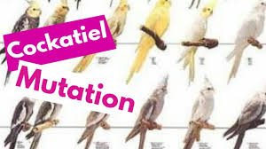 Cockatiel Chart Cockatiel Mutations Cockatiel Parrot Top Varieties