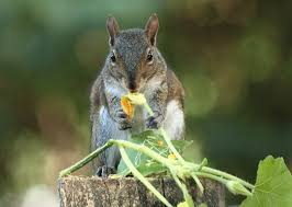 how to keep squirrels out of garden. Keeping Squirrels Out Of The Garden: Squirrel Eating Squash Blossom How To Keep Garden T