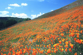 mt diablo wildflowers 03 30 08 17 seasonal river s