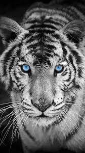 tiger iphone 6 wallpaper. Exellent Iphone Bengal Tiger Closeup IPhone 6 Wallpaper  Animals Pinterest Intended Iphone Wallpaper A