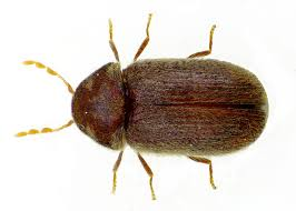 Small Brown Beetle In Bedroom Drugstore Beetles Facts Appearance Prevention Beetle Control