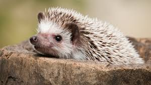 awesome hedgehog images collection hedgehog wallpapers