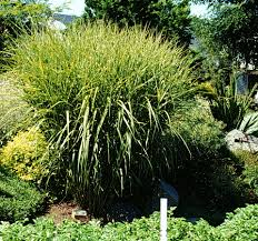 Tall Decorative Grass A Gallery Of Ornamental Grasses And Grasslikes