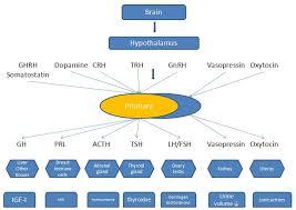 Thyroid Hormone Flow Chart Fipa Patients