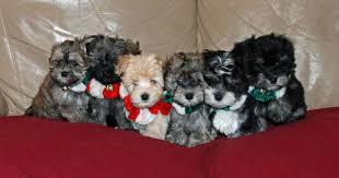 Puppy Nursery Havanese Puppies Hypoallergenic