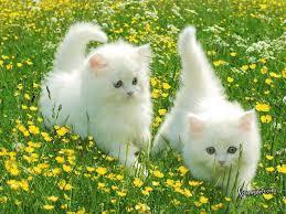 صور قطط جد جميلة images?q=tbn:ANd9GcQ