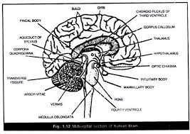 essay on human brain structure and function midsagittal section of human brain