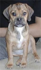 black and brown puggle.  Brown Close Up Front View  A Brown With Black And White Wrinkly Faced Puggle  Puppy Is Throughout Black And Brown G