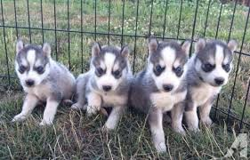 grey husky puppies with blue eyes. Delighful Grey AKC Siberian Husky Puppies  Beautiful Grey With Blue With Grey Blue Eyes