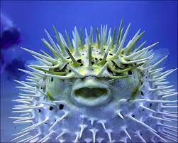 facts about puffer fish in florida
