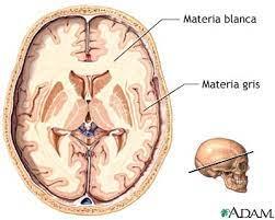 materia gris y blanca del cerebro