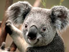 koala facts lesson for kids com koala