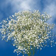 baby s breath gypsophilia flowers for bouquets