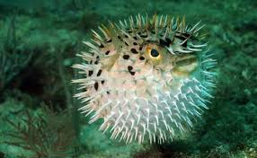 puffer fish two fish divers