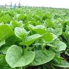 05 gói Hạt giống rau mồng tơi Nhật kháng bệnh năng suất cao VTP45 | Vạn Tín  Store