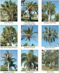 Palm Tree Chart Image Result For Palm Tree Identification Chart Palm Tree