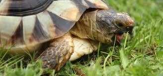 Indian Star Tortoise Diet Chart Tortoise Food And Diet Advice Exoticdirect