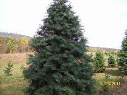 Old Time Christmas Tree Farm Pumpkin Patch  Spring TXLocal Christmas Tree Lots