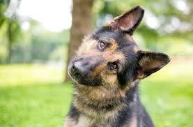 German Shepherd Lab Mix Weight Chart German Shepherd Lab Mix Everything You Need To Know Before