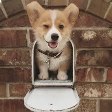 cutest corgi puppy. Unique Puppy Corgi Puppy Dog Welsh Funny Cute Corgi Pembroke With Cutest Puppy S
