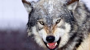 hd wolf desktop hd wallpapers wallpaper database