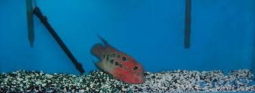 Aquarium Design For Flowerhorn Managing Your Flowerhorn Aquarium Flowerhorn