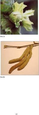 Evoluzione della raccolta meccanizzata delle nocciole corylus