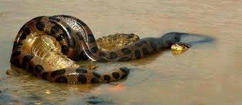 amazon rainforest animals anaconda. Anaconda In Manu On Amazon Rainforest Animals