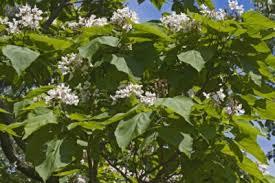 choosing flowering trees for zone 6 gardens