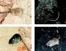 Image result for mutation in mice in desert