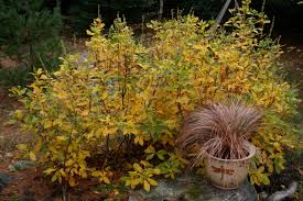 clethra alnifolia fall foliage jpg ref inline m witchcraft trials research paper