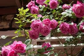 Roses Flowers Wallpapers Amazing Pink Roses Flowers Hd Wallpaper Download