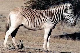Вымершие виды животных Квагга