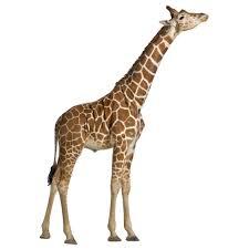 real life giraffe height r af 54361 jpg