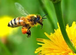 Ape che trasporta una pallina di polline – TUTTO GENUINO